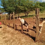 Maui's Surfing Goat Dairy