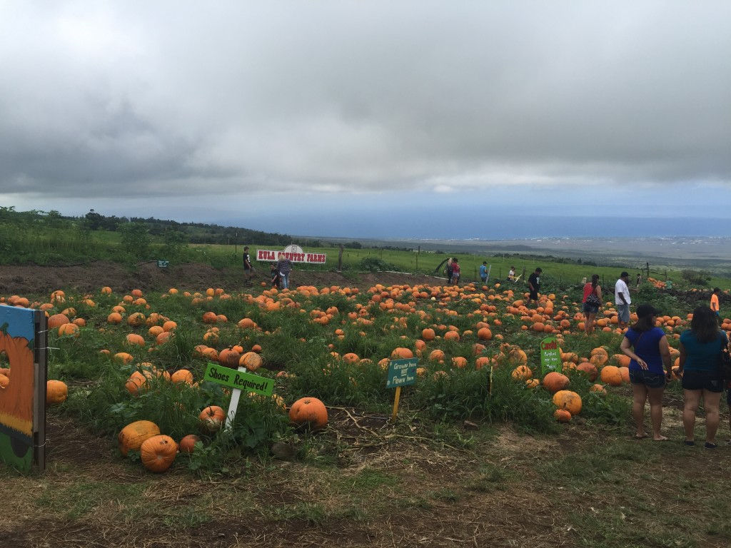 Hundreds and hundreds of Maui-grown pumpkins!
