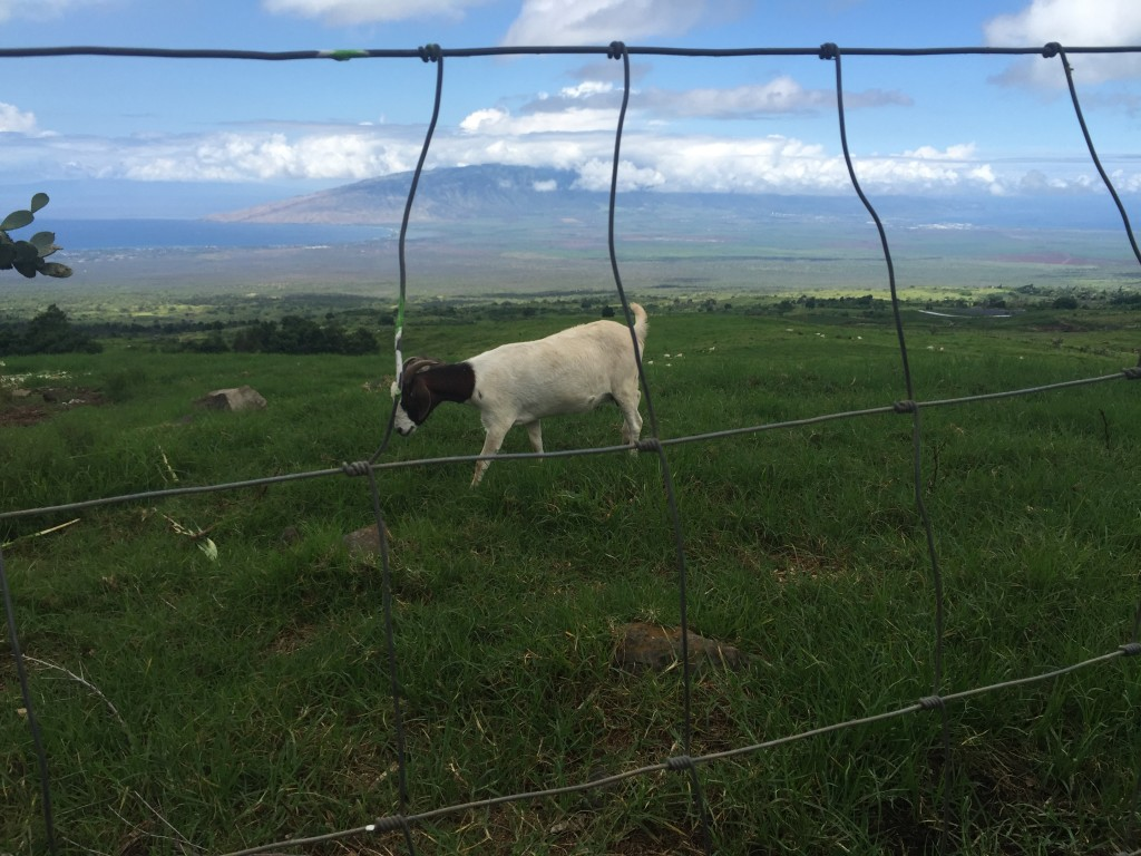 I am willing to bet that these are some of the happiest goats on the planet-- check out that view!