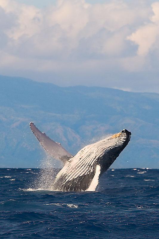 Whale Breach by Erik Ogan, CC