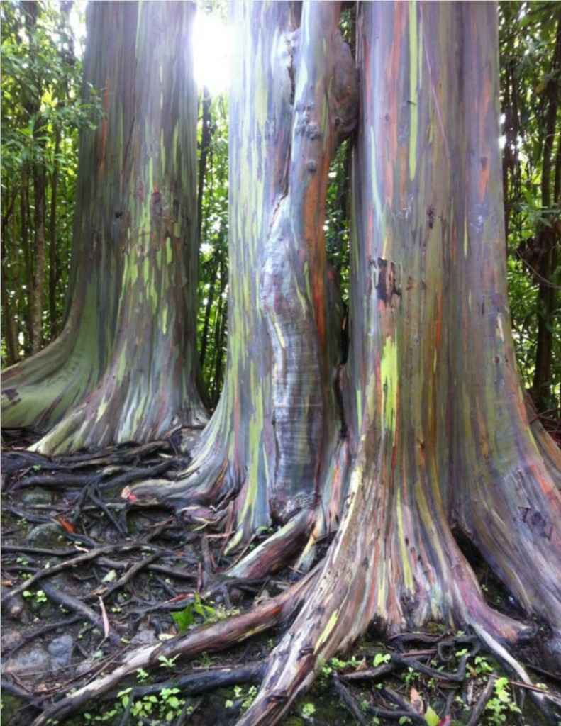 Road to Hana_Rainbow Eucalyptus